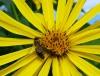 Pflanzen der Durchwachsene Silphie (Silphium perfoliatum L.)
